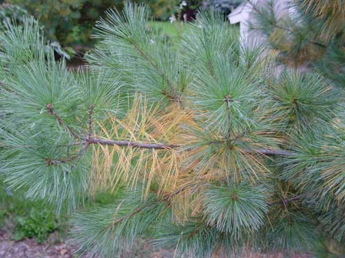 Seasonal needle loss on white pine