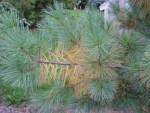 Seasonal needle loss on white pine