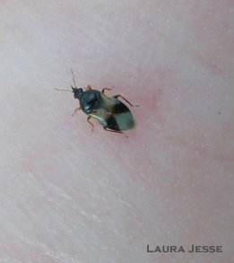The insidious flower bug is a common member of the minute pirate bug group.