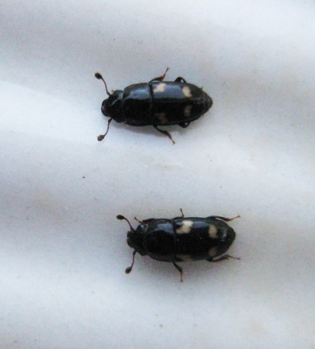 A pair of picnic beetles