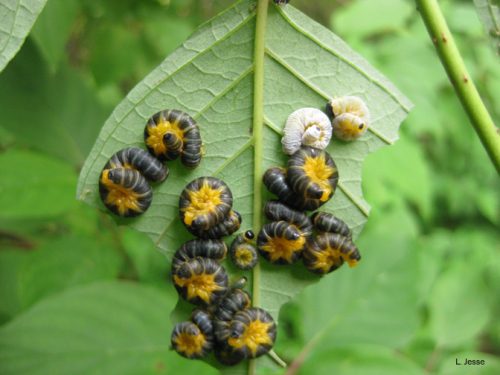 Dogwood sawfly larvae in different larval instars.