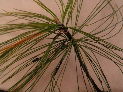 A white pine sample with sooty mold fungus on the stem and needles.