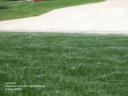 Spider webs covering a lawn.  Photo by Jim Hill.