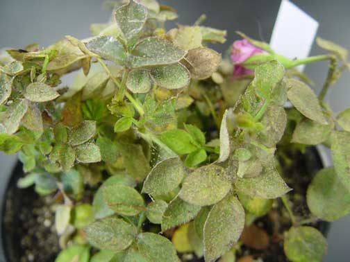 Extensive spider mite damage on a rose plant from a greenhouse. Note speckling and webbing on the leaves.