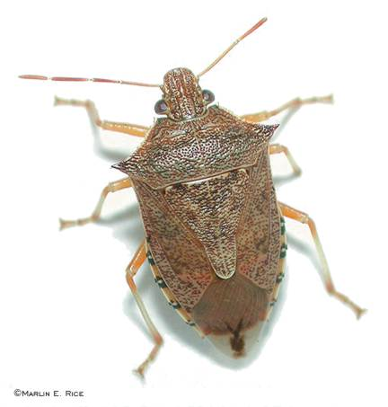 Spined Soldier Bug.  One-half inch long with acute spines on thorax.  Photo by Marlin Rice.