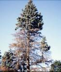 Spruce with extensive branch death