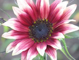 Ruby Moon sunflower
