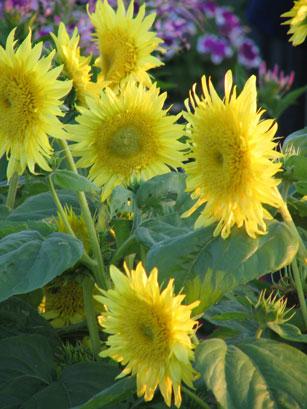 Starburst Arora sunflower