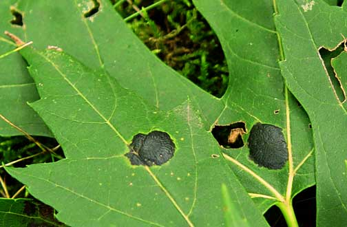 Tar spot on leaves of silver maple (photo by R. Healy).