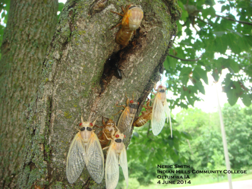 Close-up of teneral adult periodical cicadas before they harden and darken.