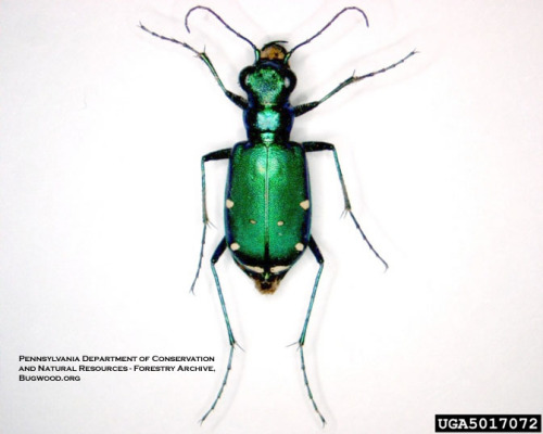 Sixspotted tiger beetle, a native beetle commonly mistaken for EAB.