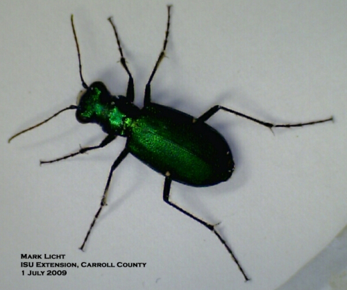 Sixspotted tiger beetle.  Photo by Mark Licht