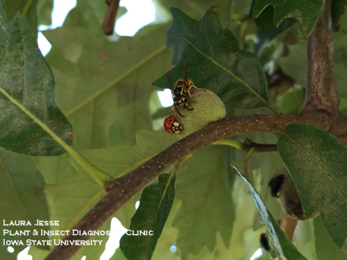 """Can't we all just get along?""  A multicolored lady beetle and a yellowjacket wasp share space on a oak gall to feed."