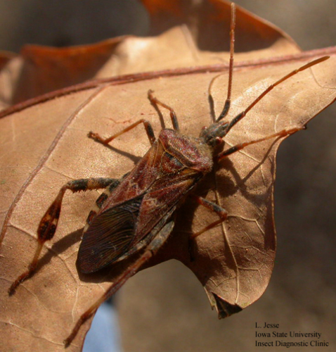 Western conifer seed bug, AKA pine seed bug, showing the zig-zag stripe on abdomen.