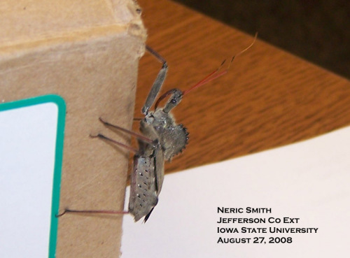 Wheel bug.  Photo by Neric Smith.