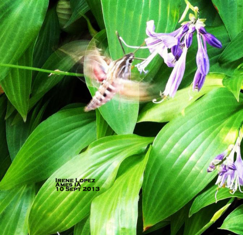 White-lined sphinx moth at hosta flower.