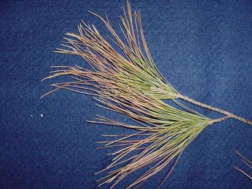 Winter drying of white pine