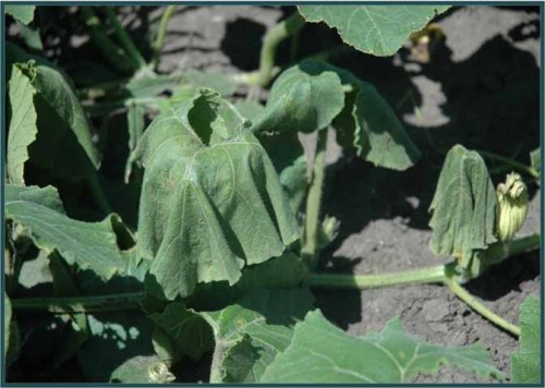 Symptoms of bacterial wilt in muskmelon.