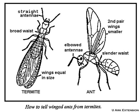 WInged ants and winged termites differ in their antennae, wings and waist.  Drawing from University of Arkansas Extension