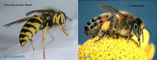 Yellowjacket wasps are shiny, bright yellow and black; Honey bees are fuzzy and golden brown.