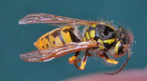 Yellowjacket wasp.  Photo by Laura Jesse, ISU Extension