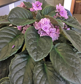 Lavender blooms and dark green leaves of African violets