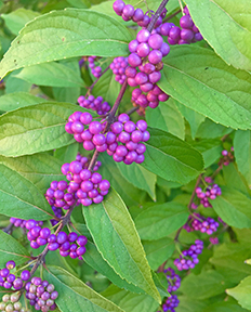 decorative picture of clusters of purple berries
