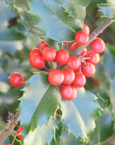 red berries and green leaves of holly