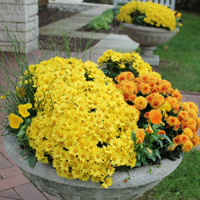 Picture of gold and orange mums in a large container at Reiman Gardens