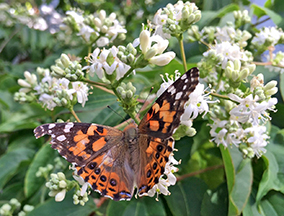 close up of painted lady butterfly on small white flowers