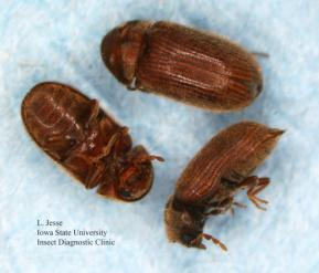 Three adult drugstore beetles. Actual size 2.5 mm.