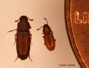 Red flour beetle and foreign grain beetle next to a penny