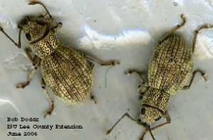Image of imported longhorned weevils
