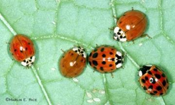 Image of Asian lady beetles eating soybean aphids