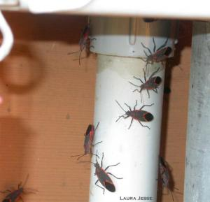 Several boxelder bugs on a pipe
