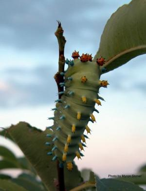 Image of a Cecropia moth caterpillar.