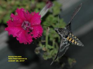 Image of a tobacco hornworm moth on a petunia flower