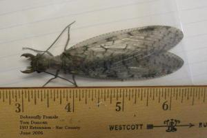 Image of a female dobsonfly