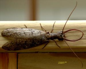 Image of a male dobsonfly