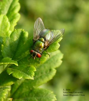 Image of an adult blow fly
