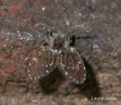 Image of an adult moth fly