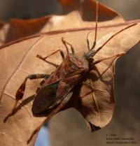 Image of a pine seed bug.