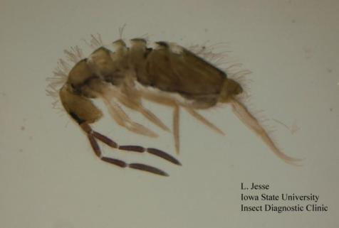 A springtail. Actual size approx. 2mm.