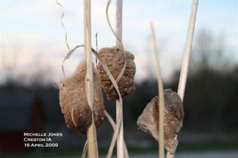 Praying mantis egg cases