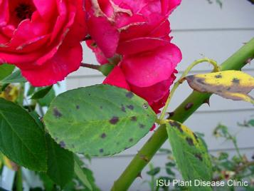Image of a rose infected with black spot