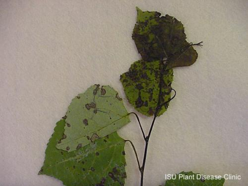 Image of a poplar leaf with a case of Venturia blight