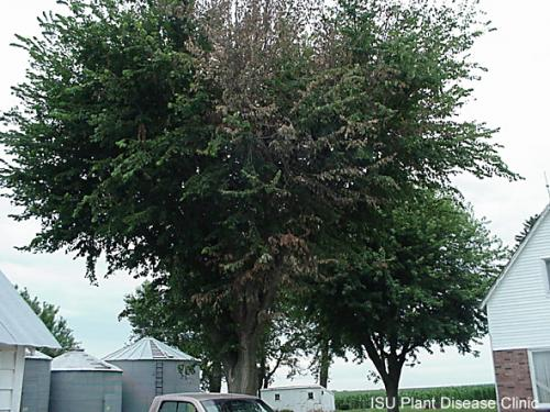 Image of an elm tree with Dutch Elm Disease