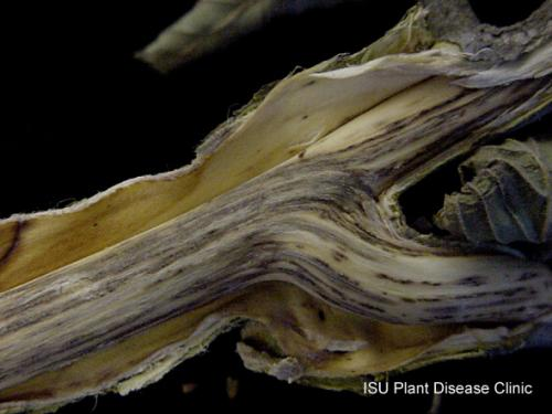 Image of vascular streaking caused by Dutch Elm Disease