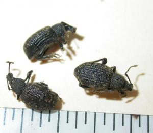 Image of three black vine weevils