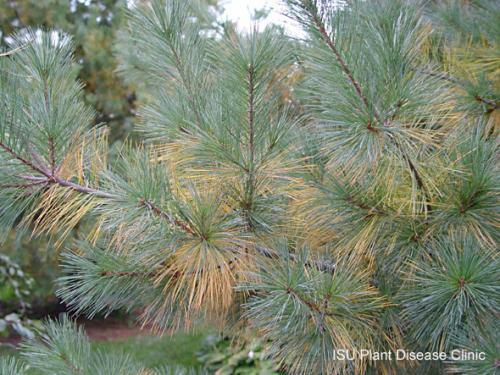 Image of seasonal needle loss on a white pine tree